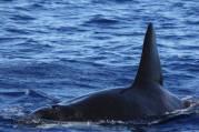 killer whale mcr photo